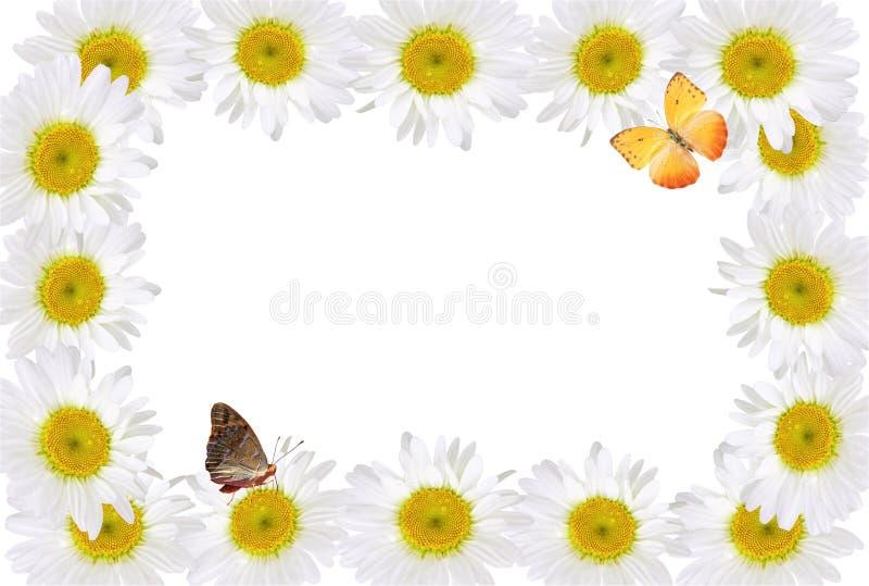 Πλαίσιο Chamomiles με την πεταλούδα στοκ εικόνα με δικαίωμα ελεύθερης χρήσης