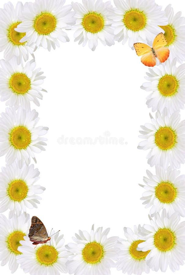 Πλαίσιο Chamomiles με τις πεταλούδες στοκ εικόνα με δικαίωμα ελεύθερης χρήσης