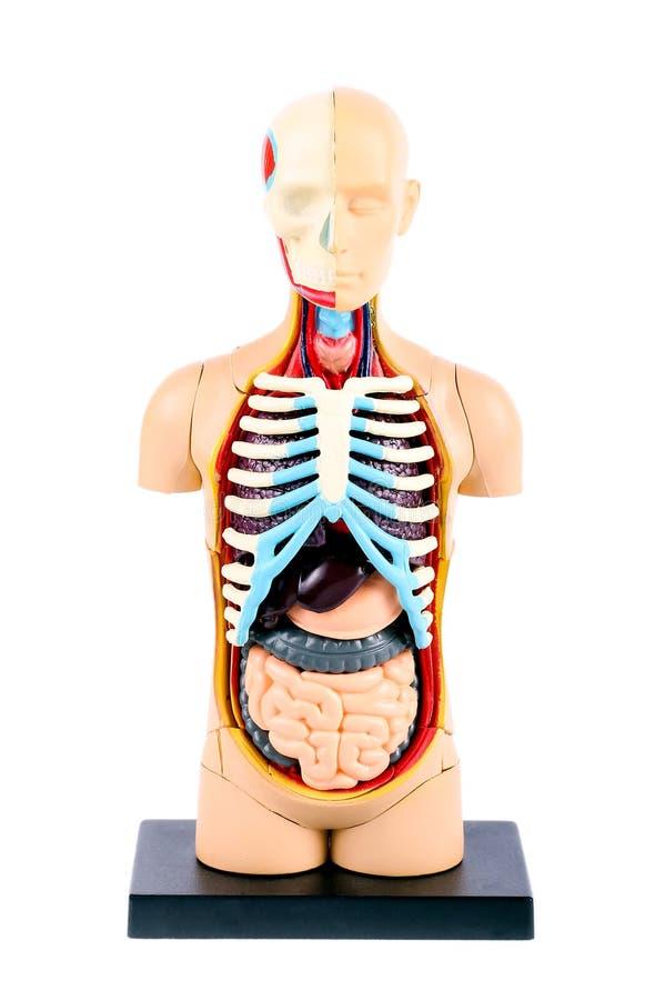 Πλαστικό πρότυπο ανθρώπινων σωμάτων στοκ εικόνα