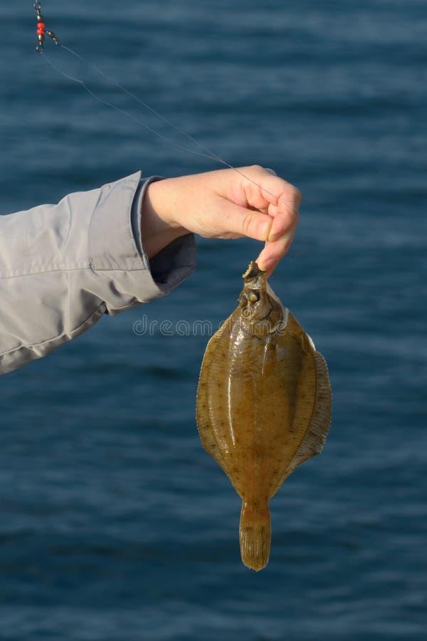 Πλευρονήκτης στο γάντζο που κρατά το χέρι του ψαρά στοκ εικόνα με δικαίωμα ελεύθερης χρήσης