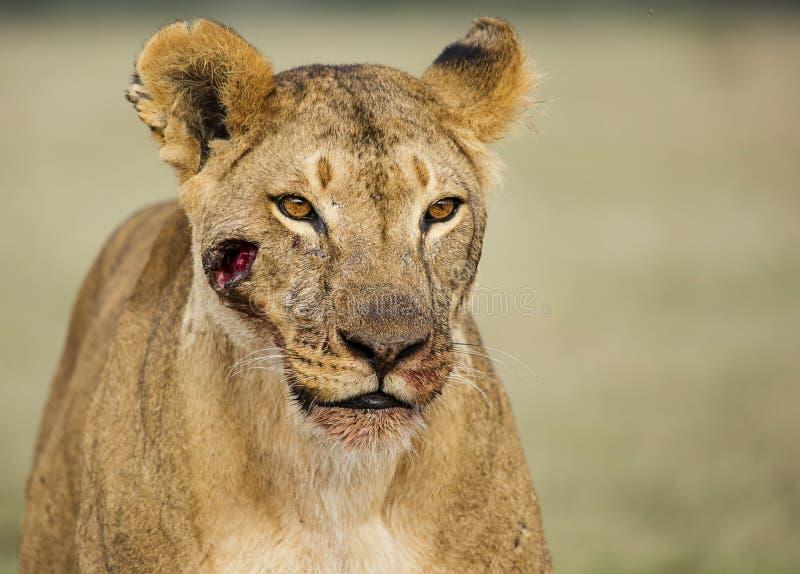 Πληγωμένη λιονταρίνα στοκ εικόνες