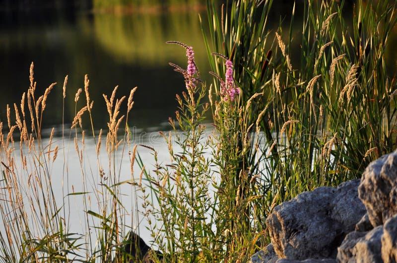 Πλούτος της βλάστησης στη λίμνη στοκ εικόνα με δικαίωμα ελεύθερης χρήσης