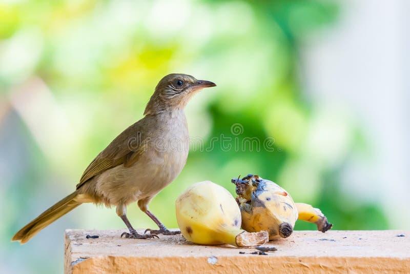 Ράβδωση-έχον νώτα να ταΐσει Bulbul με την μπανάνα που απομονώνεται στο πράσινο υπόβαθρο θαμπάδων στοκ φωτογραφίες με δικαίωμα ελεύθερης χρήσης