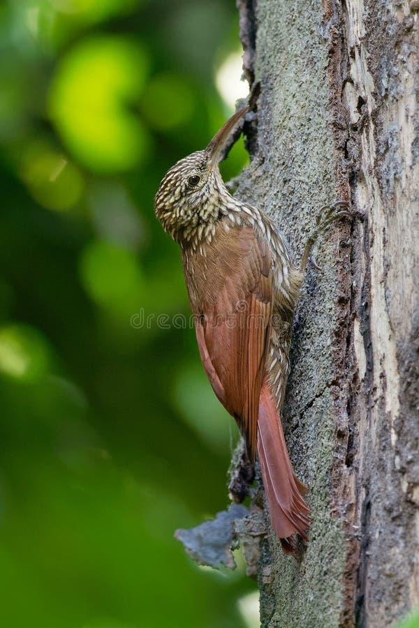 Ράβδωση-διευθυνμένο πουλί passerine souleyetii Woodcreeper - Lepidocolaptes που φυλές στον τροπικό νέο κόσμο από το Μεξικό στο Πε στοκ φωτογραφία με δικαίωμα ελεύθερης χρήσης
