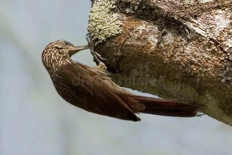 Ράβδωση-διευθυνμένο Woodcreeper, souleyetii Lepidocolaptes, στο δέντρο στοκ εικόνες με δικαίωμα ελεύθερης χρήσης