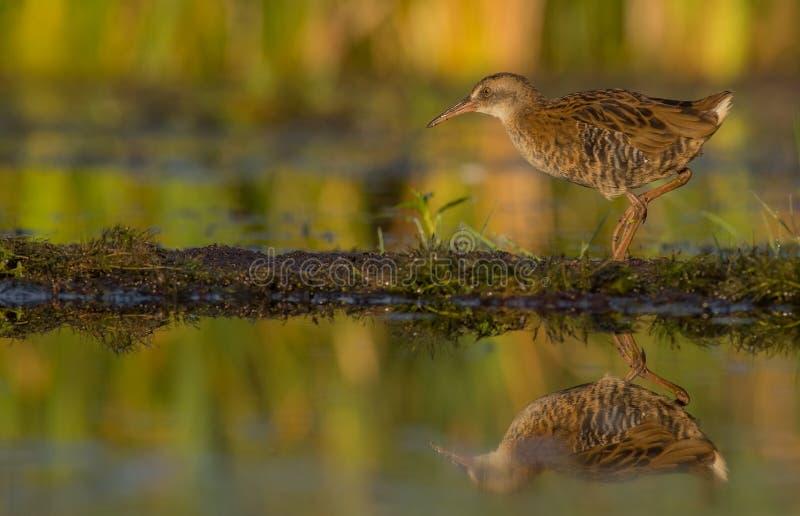 Ράγα & x28 νερού Rallus aquaticus& x29  νεανικός στοκ εικόνα με δικαίωμα ελεύθερης χρήσης