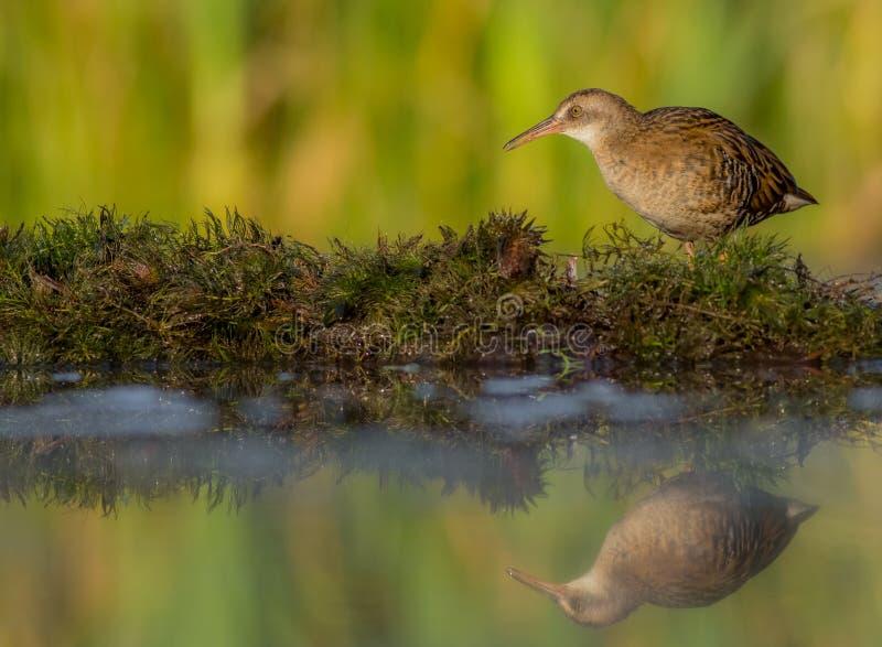 Ράγα & x28 νερού Rallus aquaticus& x29  νεανικός στοκ φωτογραφίες