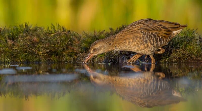 Ράγα & x28 νερού Rallus aquaticus& x29  νεανικός στοκ εικόνες