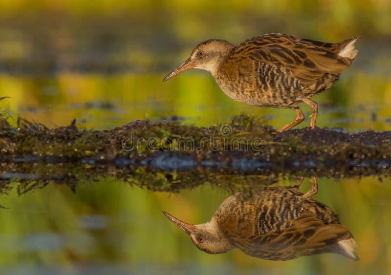 Ράγα & x28 νερού Rallus aquaticus& x29  νεανικός στοκ φωτογραφίες με δικαίωμα ελεύθερης χρήσης