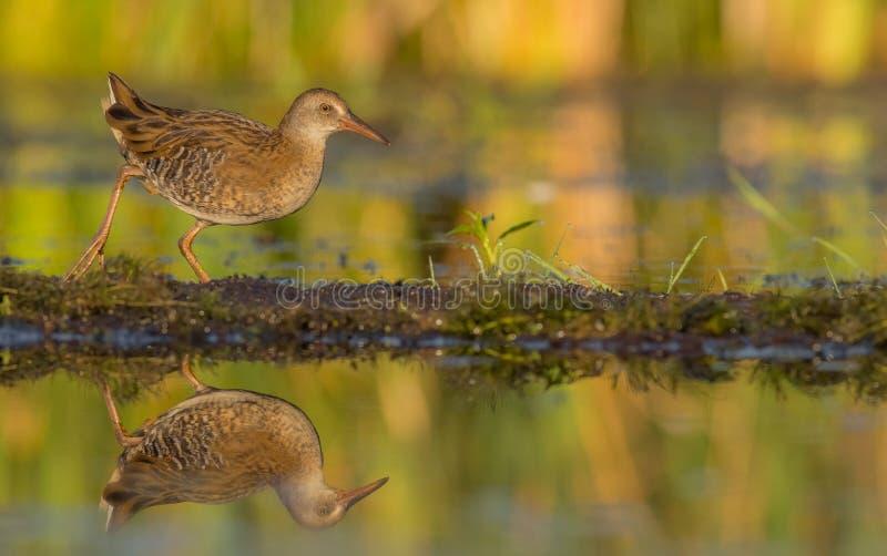Ράγα & x28 νερού Rallus aquaticus& x29  νεανικός στοκ εικόνα
