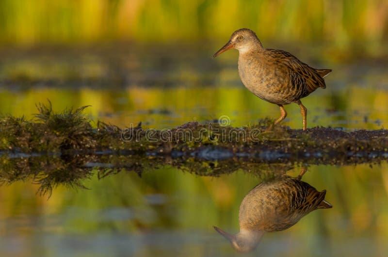 Ράγα & x28 νερού Rallus aquaticus& x29  νεανικός στοκ φωτογραφία με δικαίωμα ελεύθερης χρήσης