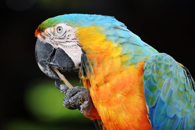 ράμφος που καθαρίζει macaw στοκ εικόνα