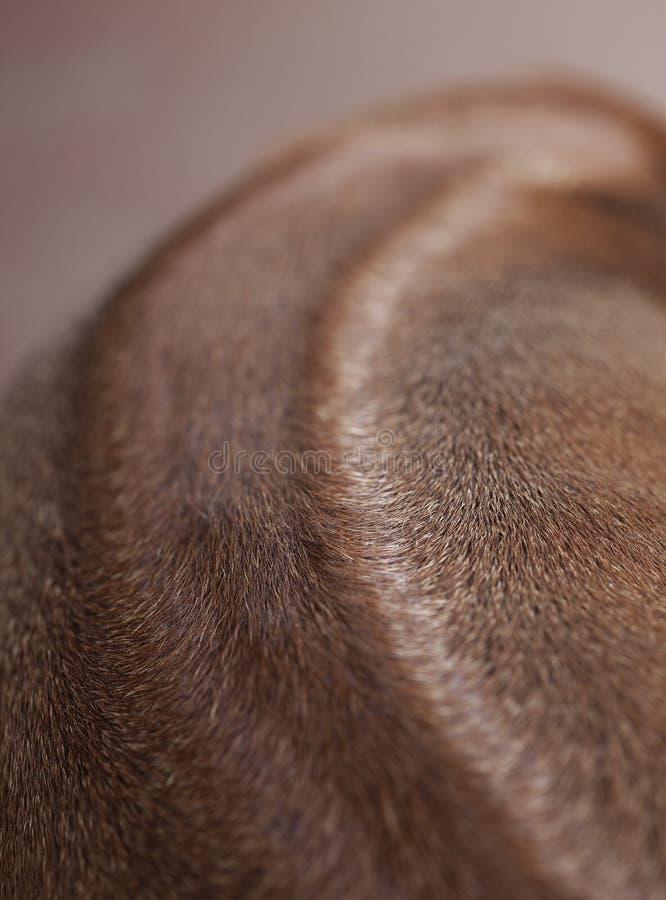 Ράχη του σκυλιού Rhodesian ridgeback στοκ εικόνα με δικαίωμα ελεύθερης χρήσης