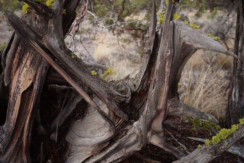 Ρίζα δέντρων ιουνιπέρων στοκ εικόνες