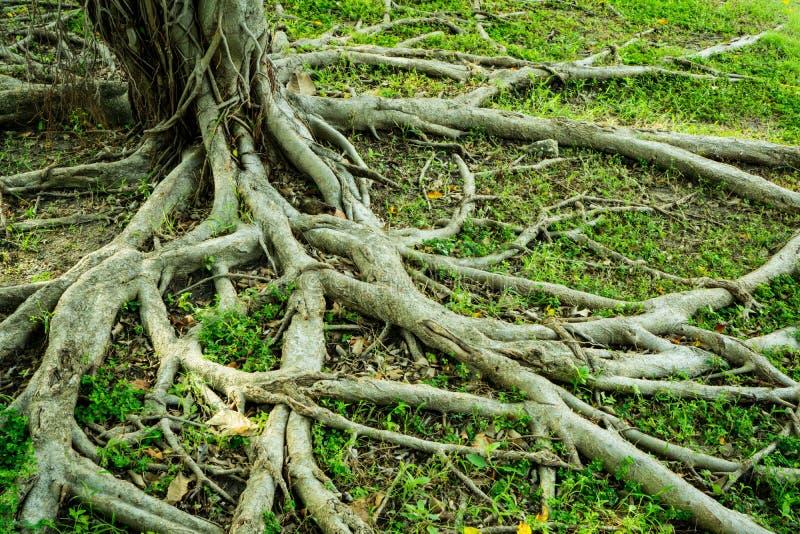 Ρίζα στηριγμάτων του banyan δέντρου και της πράσινης χλόης στοκ εικόνα