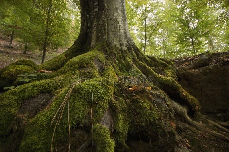 Ρίζες δέντρων με το πράσινο βρύο σε έναν απότομο βράχο στοκ εικόνα με δικαίωμα ελεύθερης χρήσης