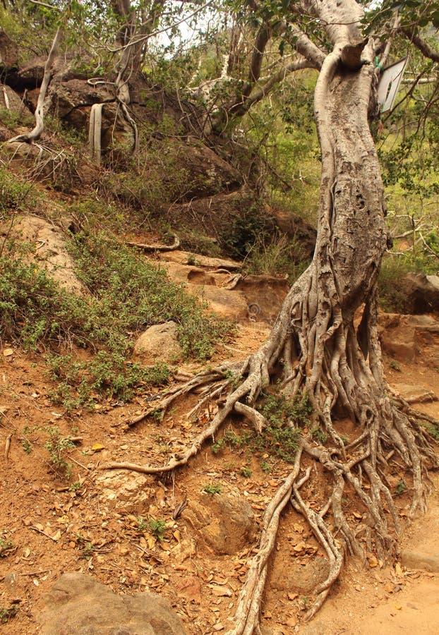 Ρίζες δέντρων Hill στοκ φωτογραφίες με δικαίωμα ελεύθερης χρήσης