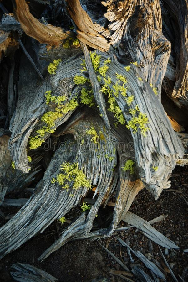 Ρίζες δέντρων ιουνιπέρων σε αργά το απόγευμα στοκ εικόνα