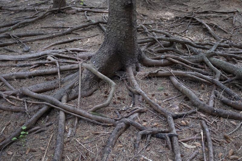 Ρίζες δέντρων που ακτινοβολούν από ένα δέντρο στοκ φωτογραφίες με δικαίωμα ελεύθερης χρήσης