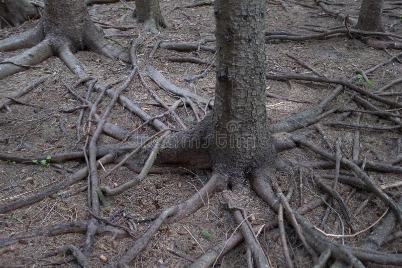 Ρίζες δέντρων που ακτινοβολούν από το δέντρο στοκ εικόνες