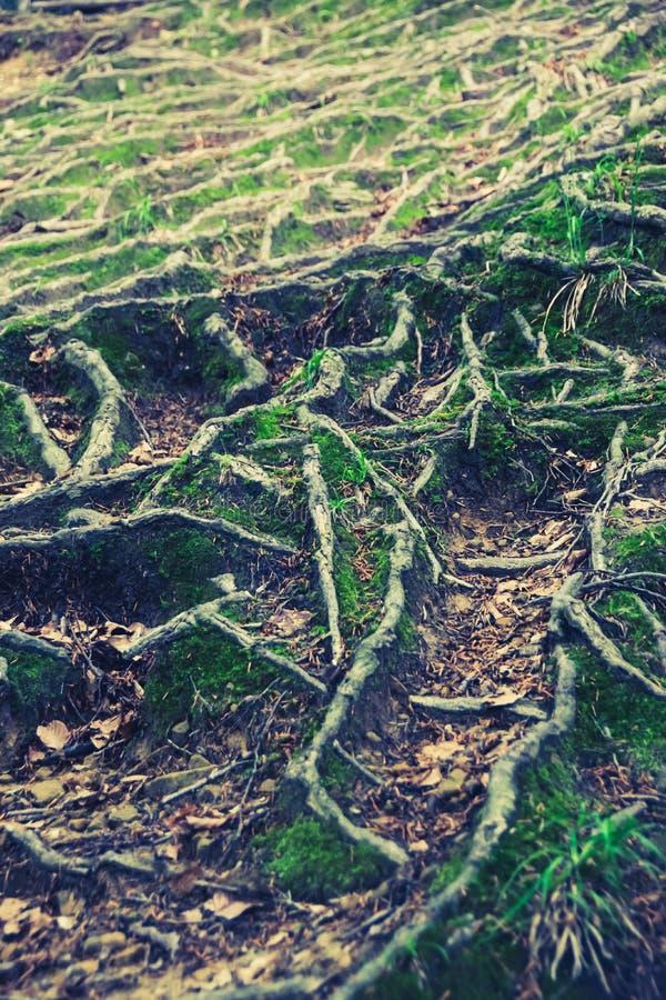 Ρίζες δέντρων στο δασικό ίχνος στοκ φωτογραφίες