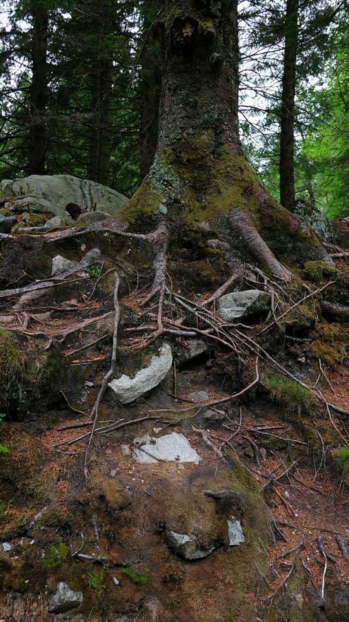 Ρίζες επάνω από το έδαφος ενός παλαιού δέντρου με το μεγάλο κορμό και καλυμμένος στο βρύο στοκ εικόνα με δικαίωμα ελεύθερης χρήσης