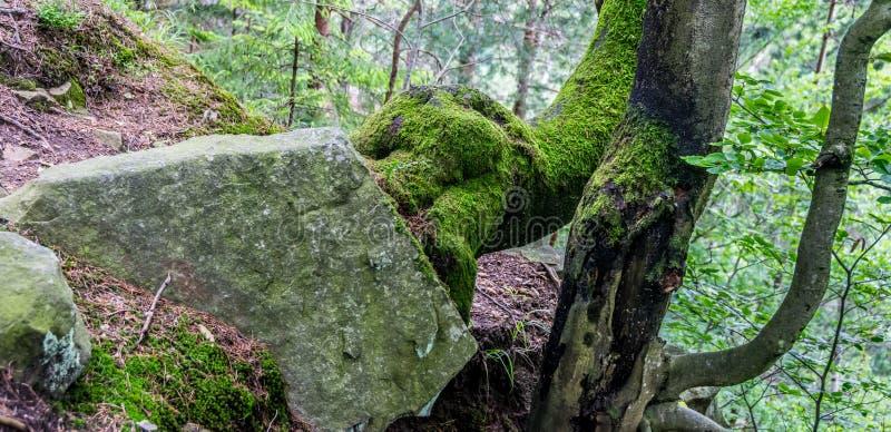 Ρίζες και λίθος δέντρων στοκ φωτογραφίες