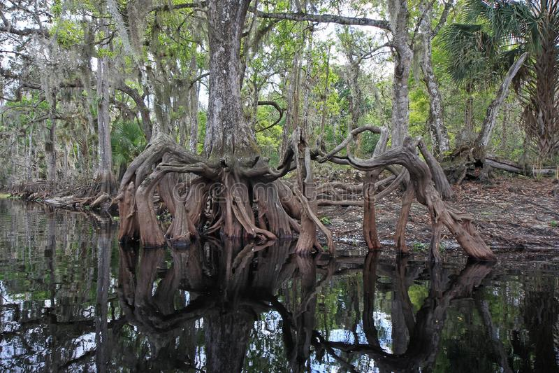 Ρίζες κυπαρισσιών στον κολπίσκο Fisheating, Φλώριδα στοκ εικόνες