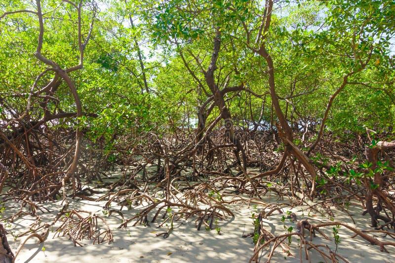 Ρίζες στην παραλία morro de Σάο Πάολο στοκ εικόνα με δικαίωμα ελεύθερης χρήσης