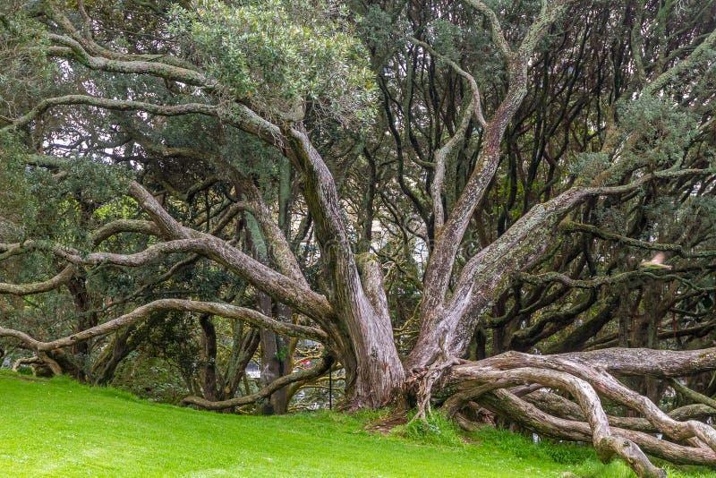 Ρίζες στηριγμάτων του δέντρου σύκων κόλπων Moreton στοκ φωτογραφία με δικαίωμα ελεύθερης χρήσης