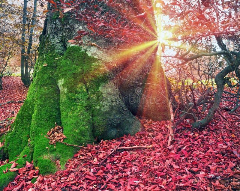 Ρίζες της οξιάς το φθινόπωρο στοκ φωτογραφίες