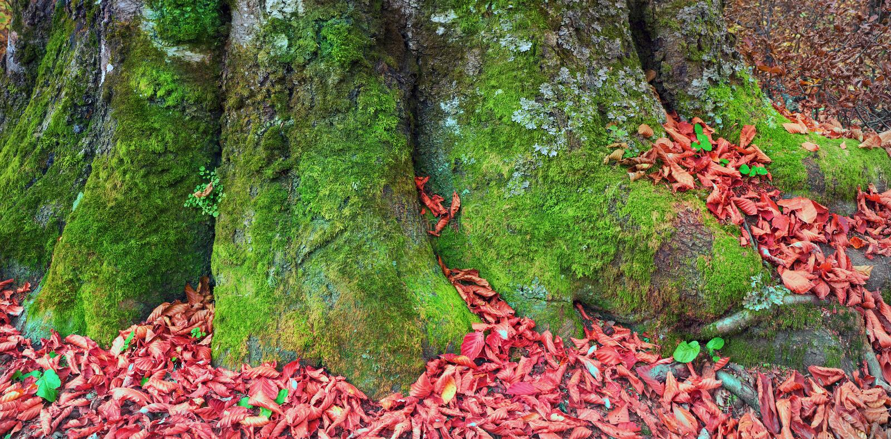 Ρίζες της οξιάς το φθινόπωρο στοκ εικόνες
