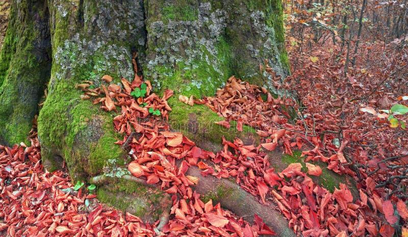Ρίζες της οξιάς το φθινόπωρο στοκ εικόνα με δικαίωμα ελεύθερης χρήσης