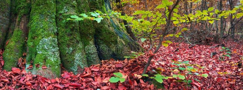Ρίζες της οξιάς το φθινόπωρο στοκ φωτογραφίες με δικαίωμα ελεύθερης χρήσης