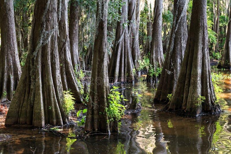 Ρίζες των δέντρων κυπαρισσιών στη λίμνη Caddo, Τέξας στοκ φωτογραφία