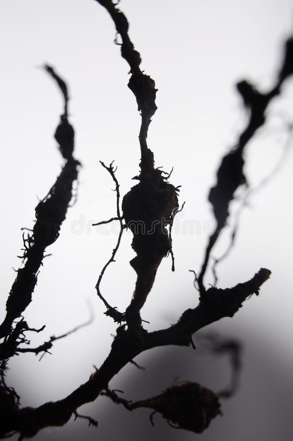 Ρίζες χαλασμένες από nematodes στοκ εικόνες