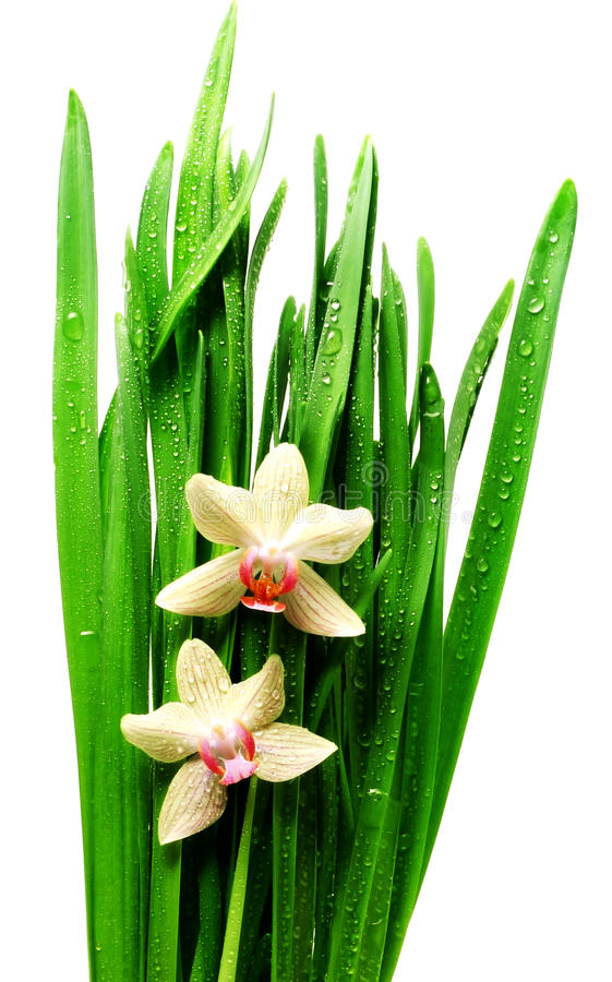 ρίχνει το απομονωμένο orchid φύλ στοκ εικόνα