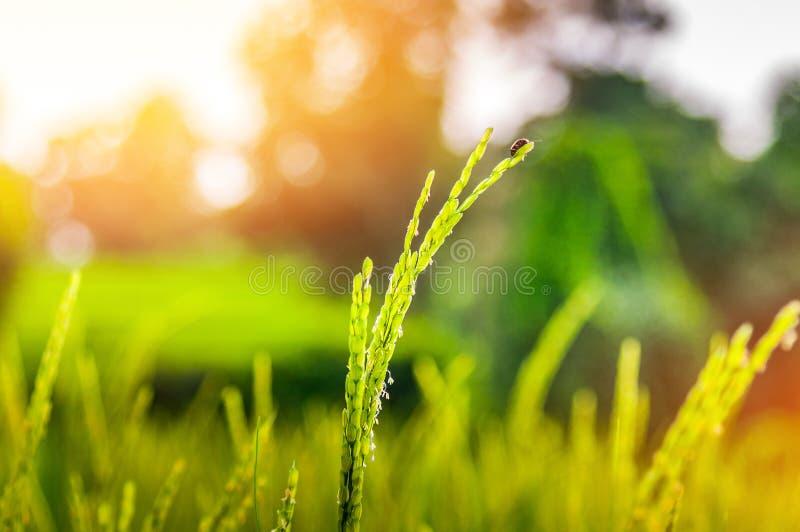 Ραβδί Ladybug στο αυτί του ρυζιού στο φυσικό πολύβλαστο πράσινο πεζούλι ρυζιού στοκ φωτογραφία με δικαίωμα ελεύθερης χρήσης