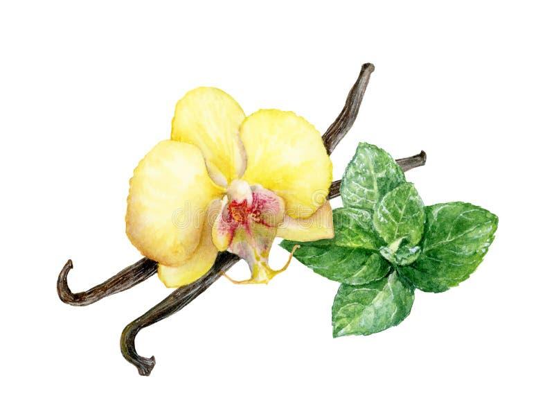 Ραβδιά βανίλιας, λουλούδι βανίλιας και απεικόνιση watercolor φύλλων μεντών απεικόνιση αποθεμάτων