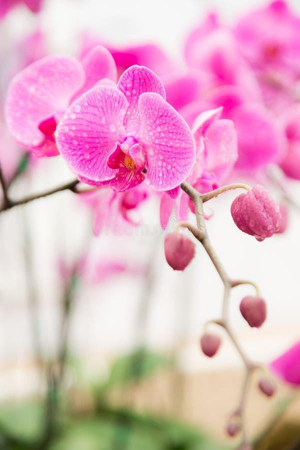 Ραβδωμένο ροζ orchid λουλούδι στοκ εικόνες με δικαίωμα ελεύθερης χρήσης