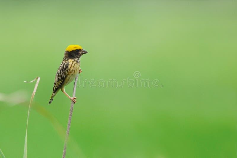 Ραβδωμένος υφαντής, όμορφο πουλί που σκαρφαλώνει στον κλάδο ως υπόβαθρο στοκ εικόνες με δικαίωμα ελεύθερης χρήσης