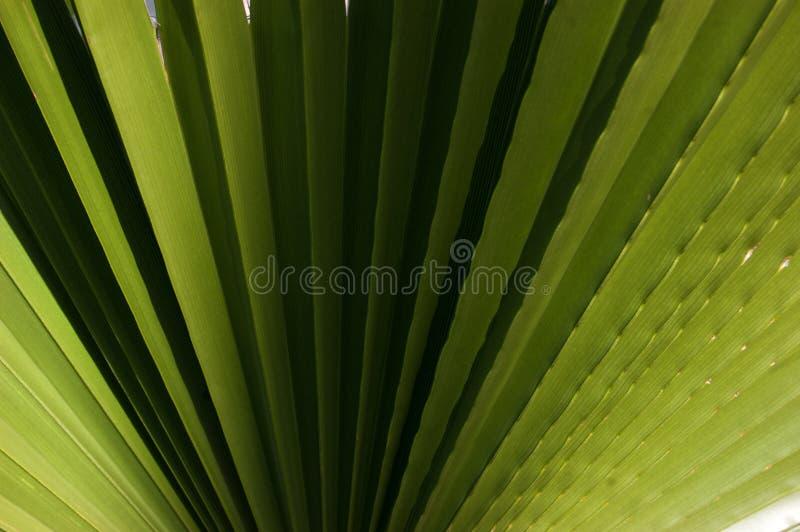 Ραβδωτό φύλλο του φοίνικα Washingtonia Σύσταση εγκαταστάσεων φύσης στοκ φωτογραφία