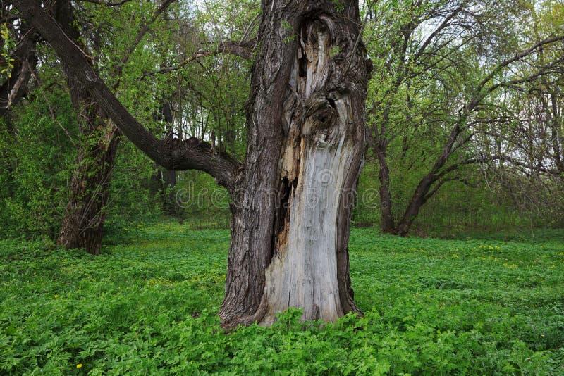 Ραγισμένος κορμός ενός παλαιού δέντρου στοκ φωτογραφίες με δικαίωμα ελεύθερης χρήσης