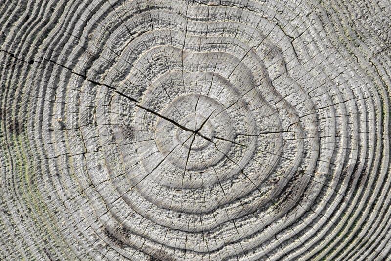 Ραγισμένος κορμός πεύκο-δέντρων στη διατομή στοκ εικόνα
