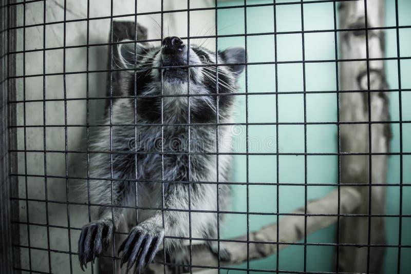 Ρακούν πίσω από τους φραγμούς στο ζωολογικό κήπο στοκ εικόνα