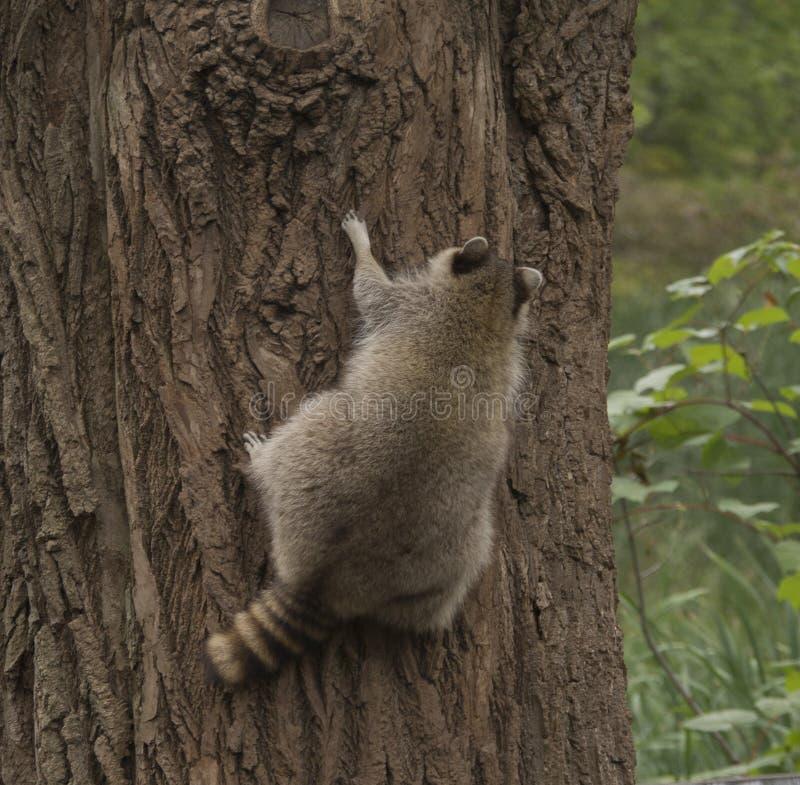 Ρακούν που αναρριχείται επάνω σε ένα μεγάλο δέντρο στοκ φωτογραφία