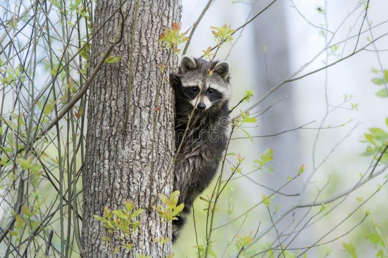 Ρακούν που αναρριχείται σε ένα δέντρο, έλος Okefenokee στην ομίχλη στοκ φωτογραφίες
