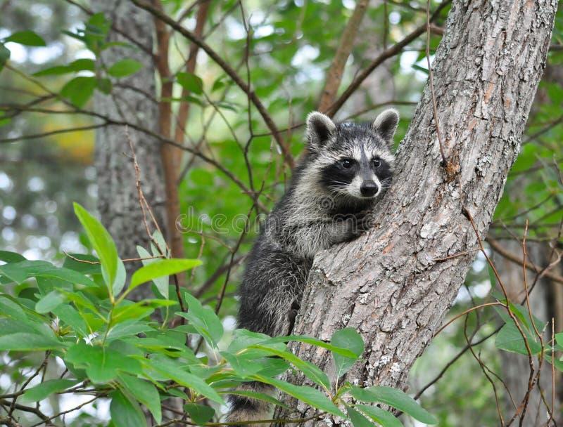 Ρακούν που αναρριχείται στο δέντρο στοκ εικόνες με δικαίωμα ελεύθερης χρήσης