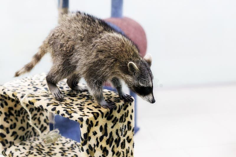 Ρακούν στο ζωολογικό κήπο που προετοιμάζεται να πηδήσει στοκ φωτογραφίες