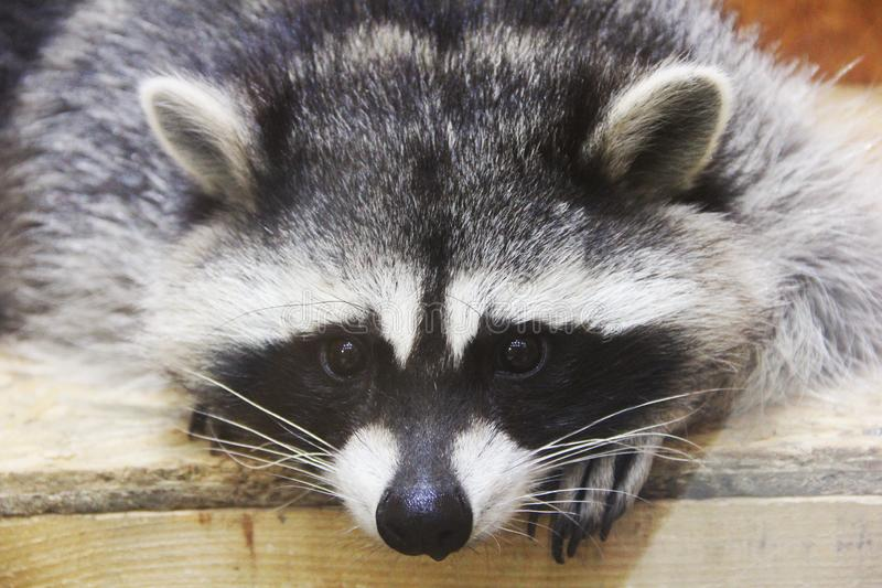 Ρακούν στο ζωολογικό κήπο στοκ φωτογραφίες με δικαίωμα ελεύθερης χρήσης